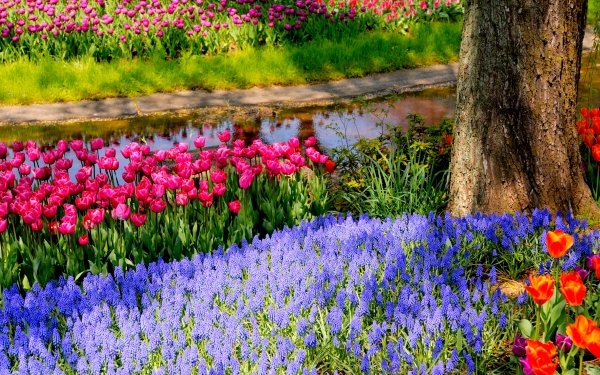 Earth Spring Park Tulip Colors Colorful Muscari HD Wallpaper | Background Image