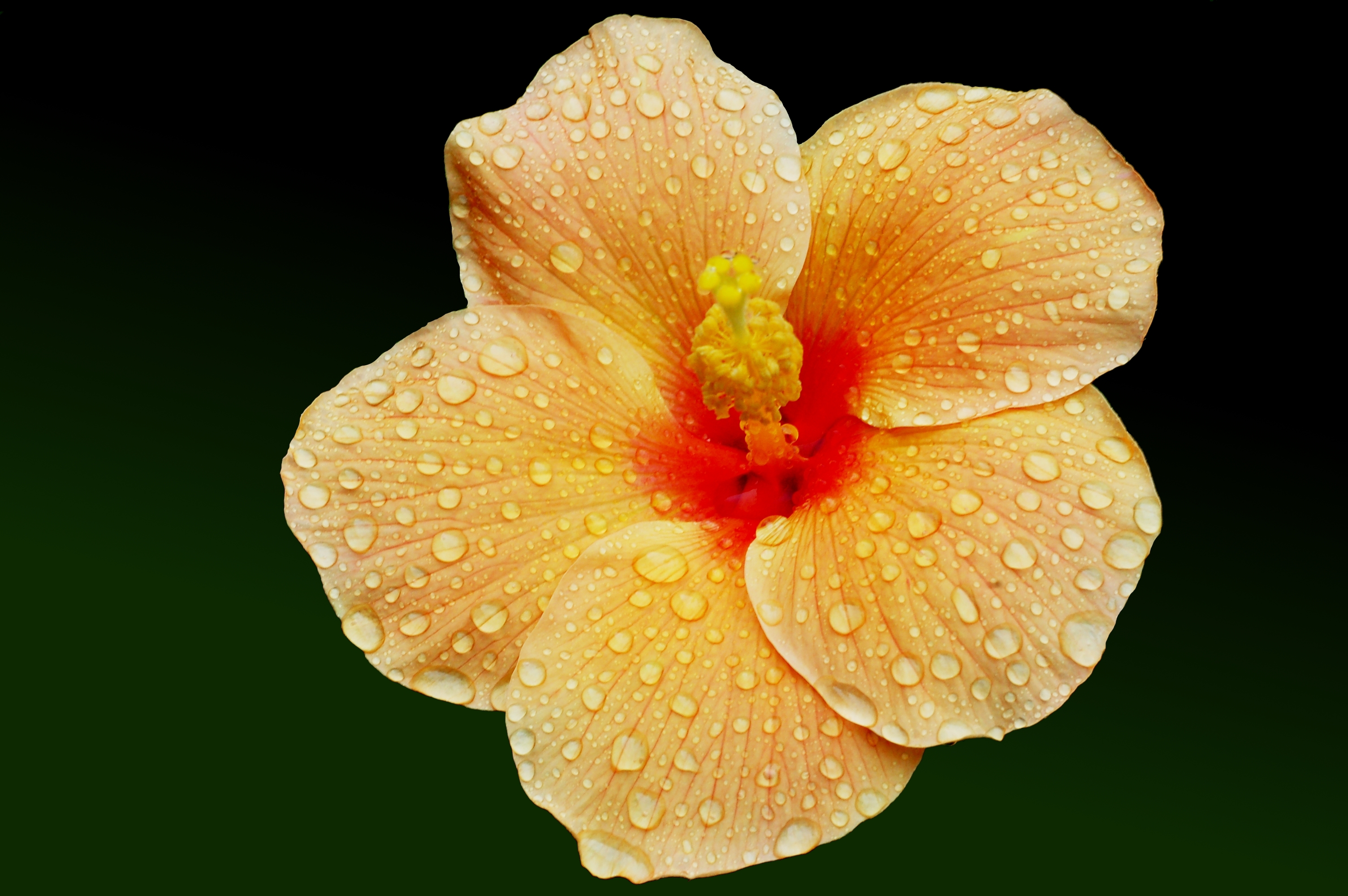 Hibiscus Full Hd Wallpaper And Background Image 3008x2000 Id693295