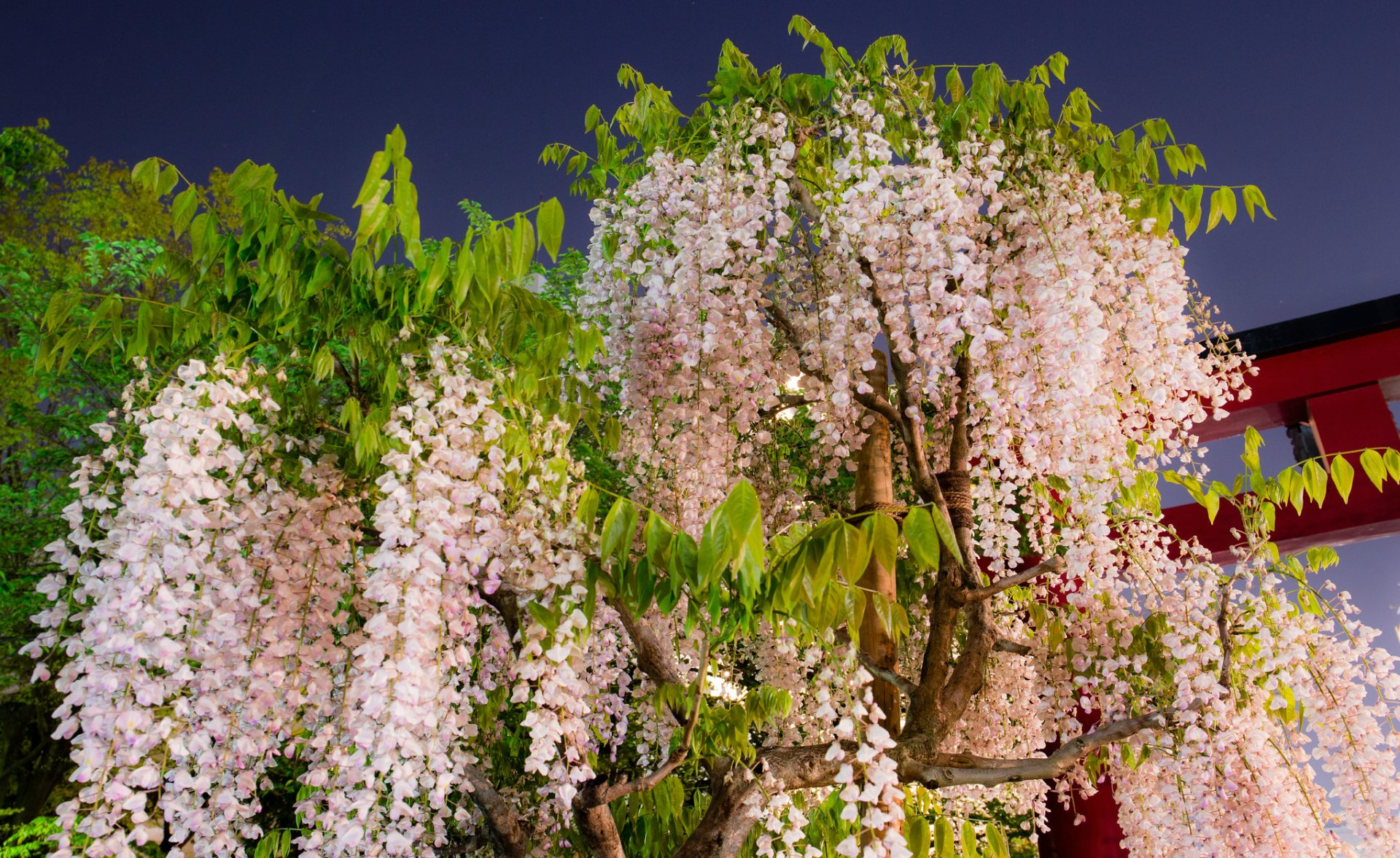 Pink Wisteria Tree Full Hd Wallpaper And Background Image