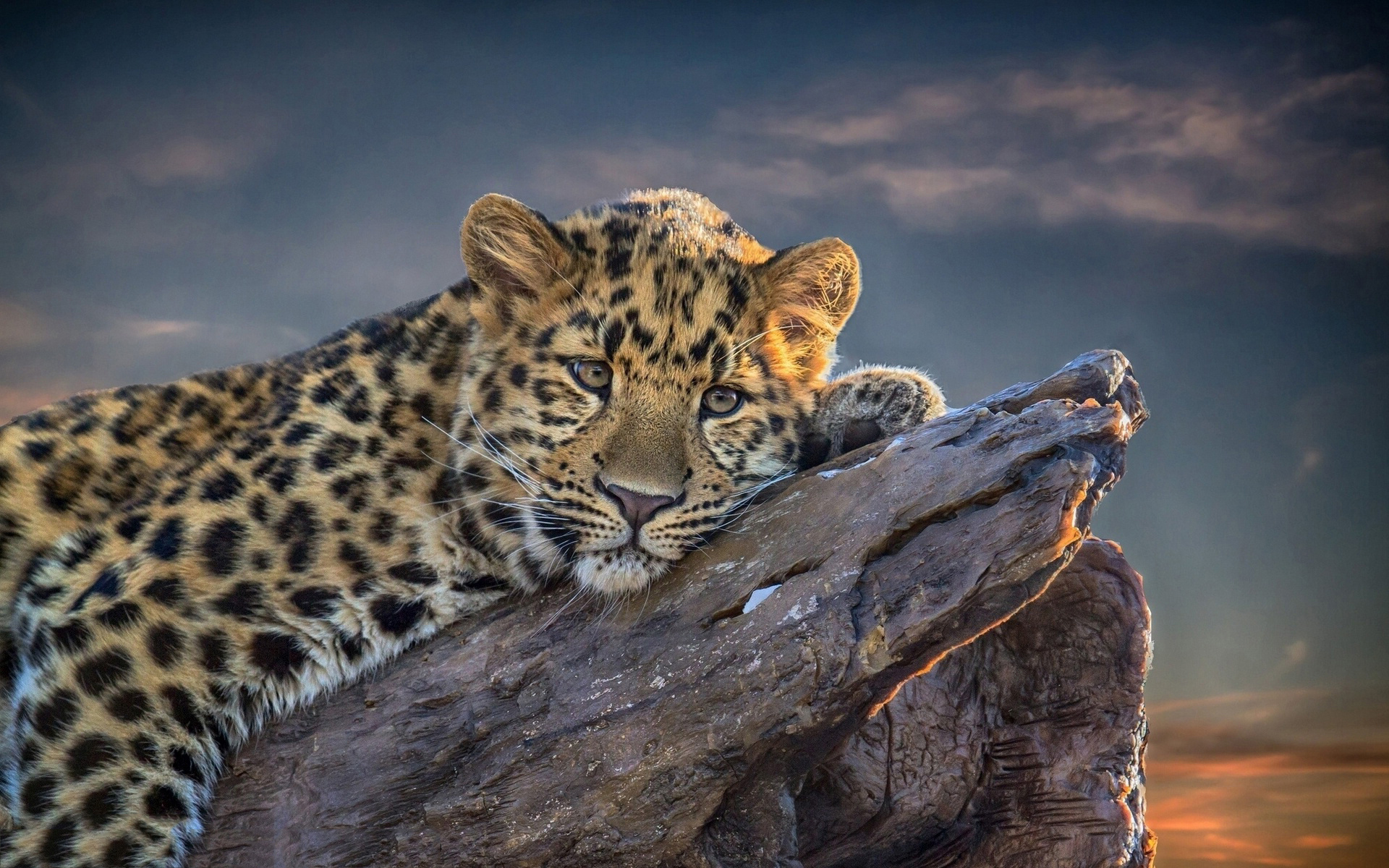 Wallpaper Cheetah Pair Hd Animals 6057: Beautiful Leopard HD Wallpaper