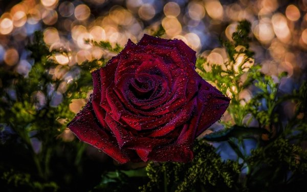 Earth Rose Flowers Red Rose Close-Up Red Flower Bokeh HD Wallpaper   Background Image