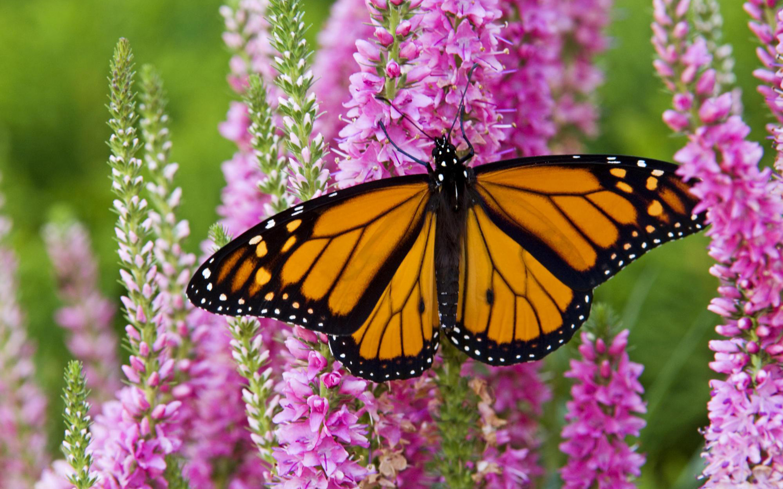 1451 Butterfly HD Wallpapers