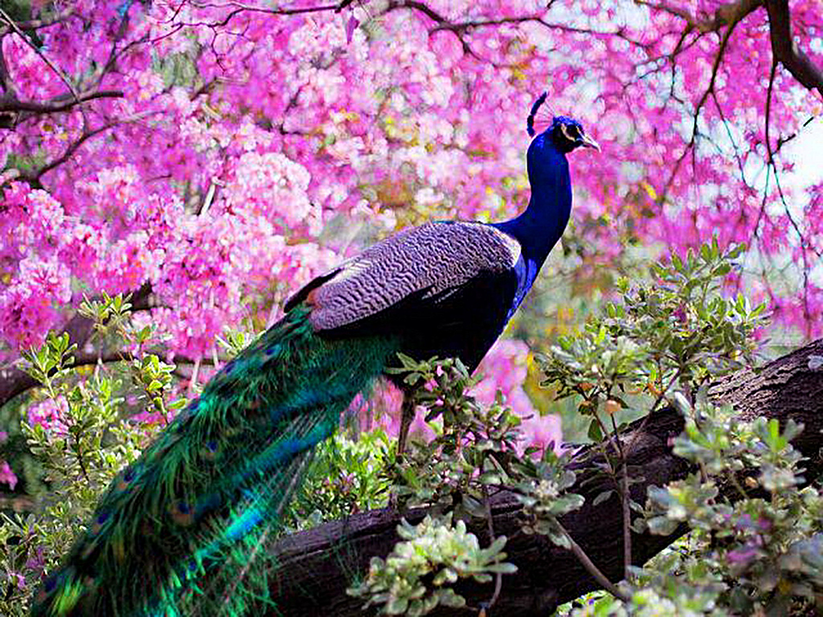 1 indian peafowl hd wallpapers | background images - wallpaper abyss