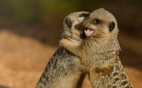 Animal Meerkat Love HD Wallpaper | Background Image