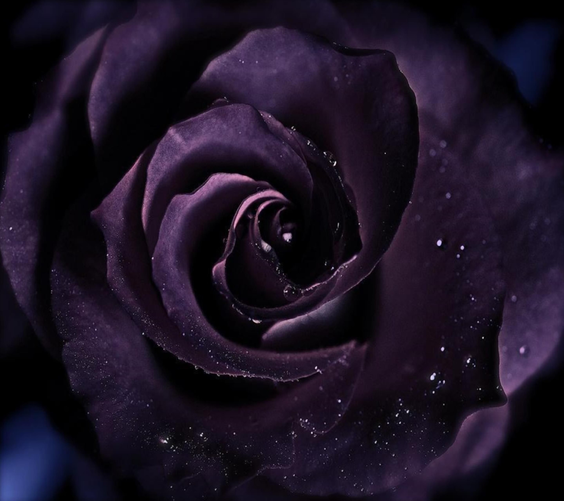 Purple Roses Background Images: Purple Rose HD Wallpaper