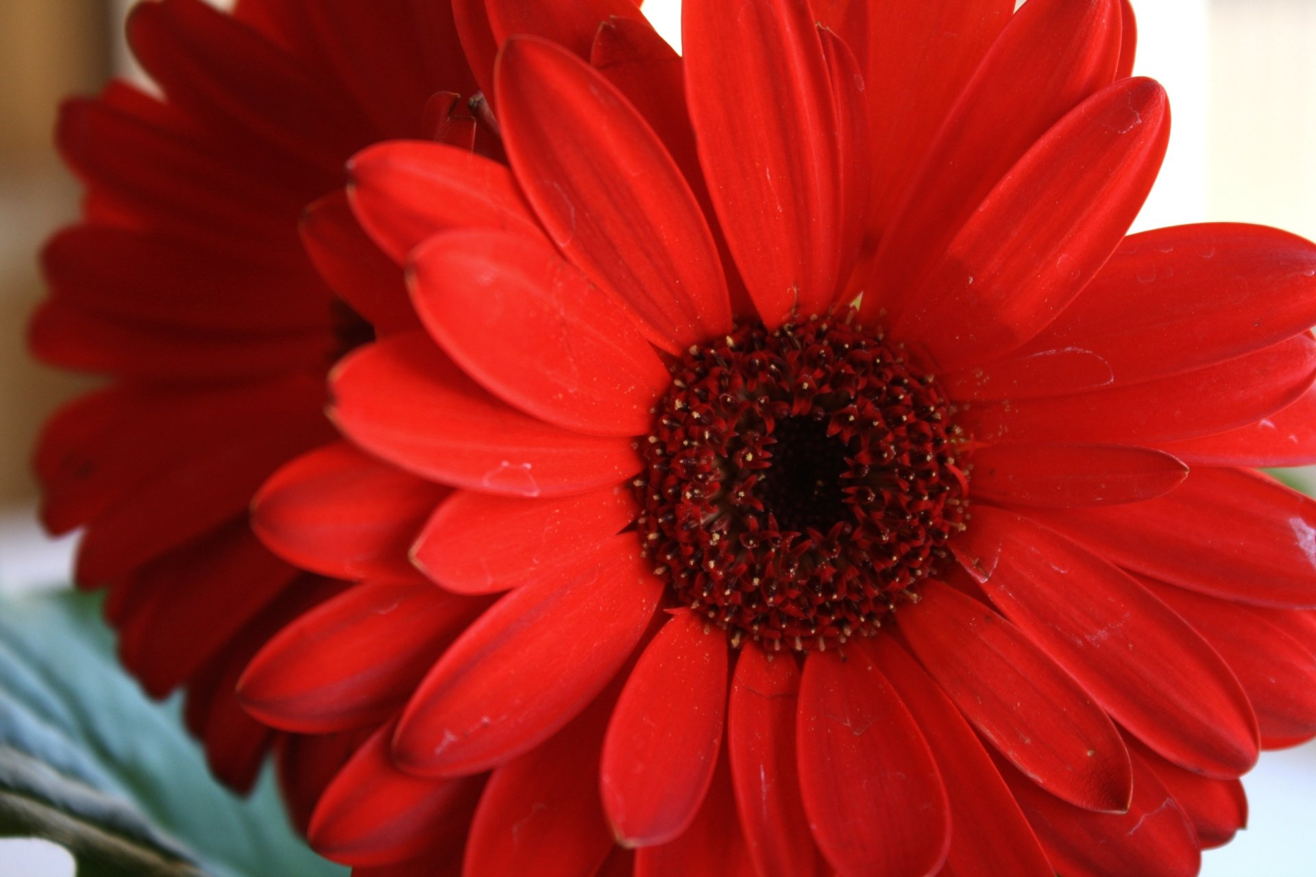 red daisy flower hd - photo #9