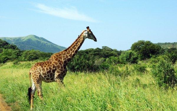 Animal Giraffe Grass National Park Landscape Savannah HD Wallpaper   Background Image
