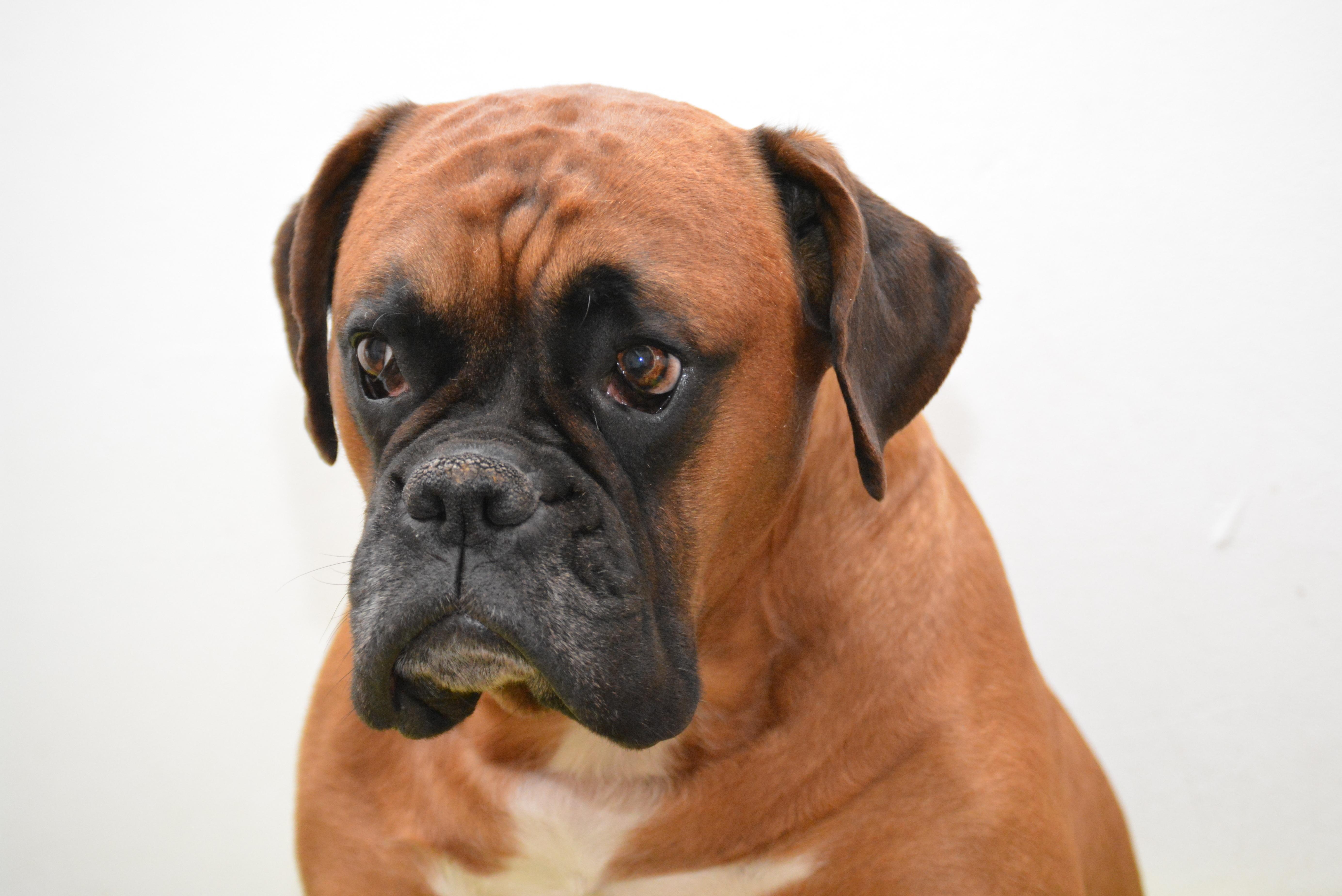 boxer dog portrait 5k retina ultra hd wallpaper background image