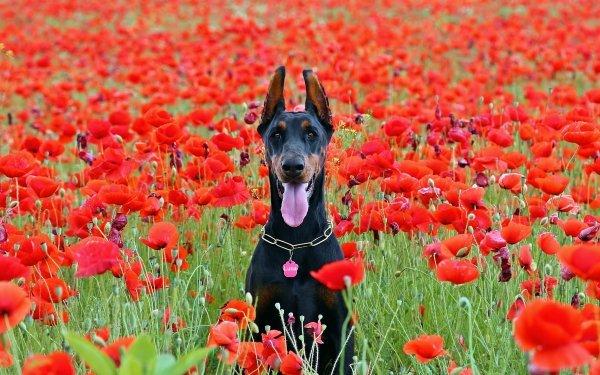 Animal Doberman Pinscher Dogs Dog Poppy Flower Field Pet Sitting HD Wallpaper | Background Image