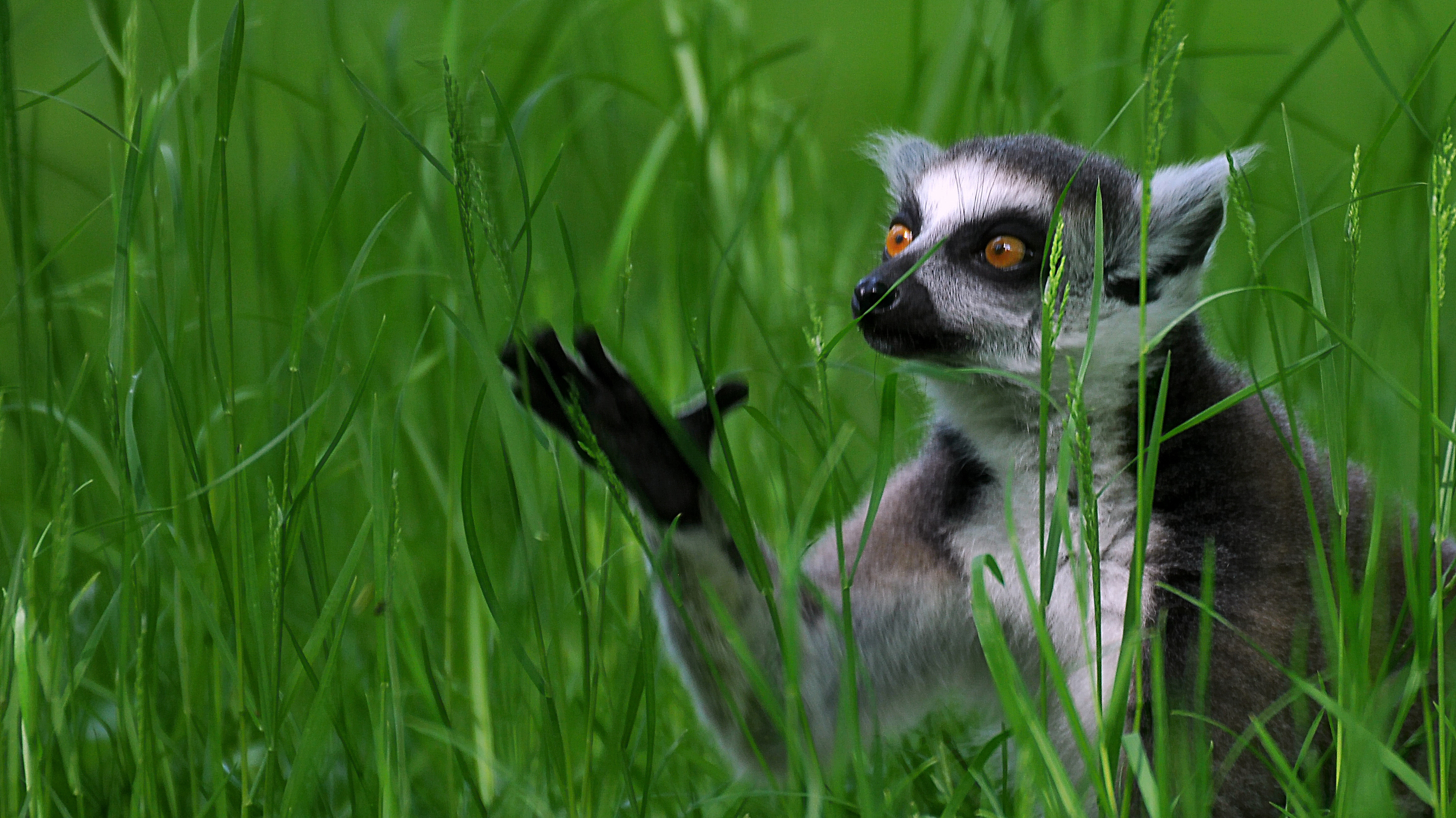lemur full hd wallpaper and background image 2907x1633