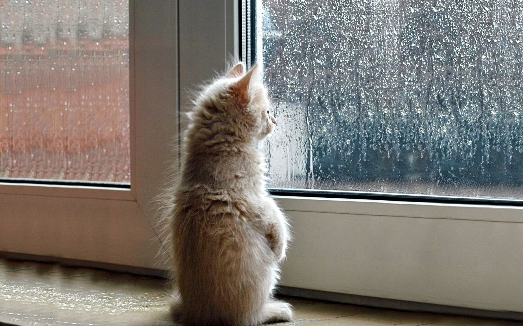 a cat watching the rain through a window Wallpaper and Background ...