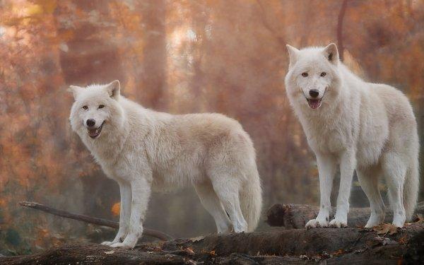 Animal Wolf predator White Wolf HD Wallpaper   Background Image