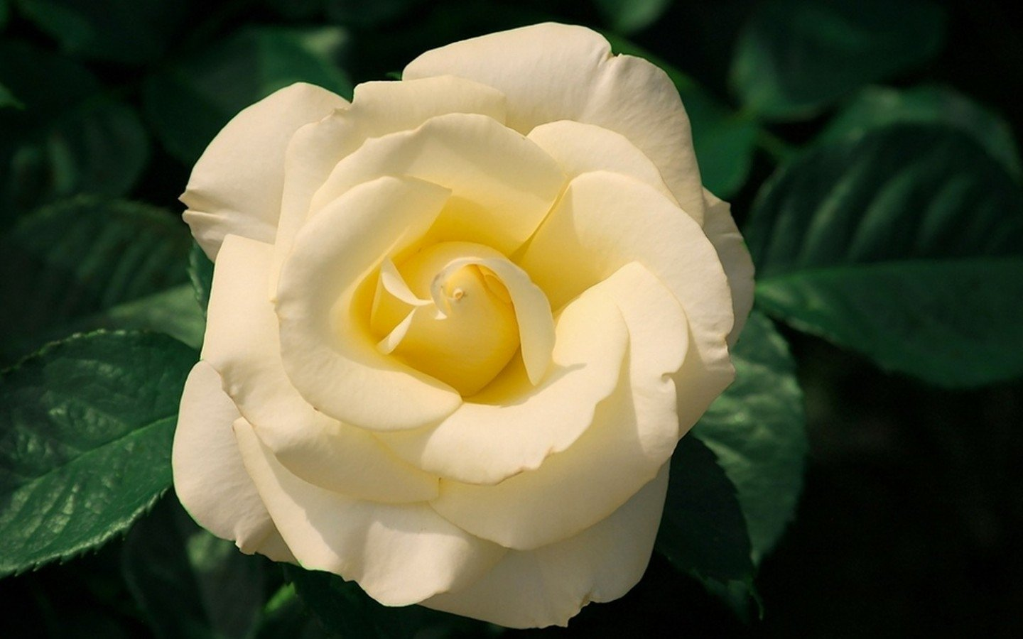 Earth - Rose  White Flower Earth Flower White Rose Leaf Wallpaper