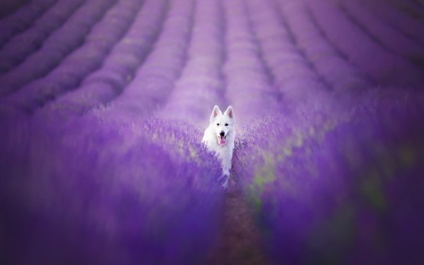 Animal Berger Blanc Suisse Dogs Dog Lavender Nature Field Blur Purple Flower Swiss Shepherd HD Wallpaper   Background Image