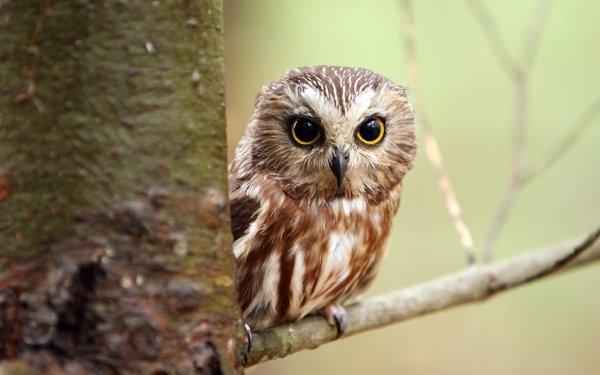 Animal Owl Birds Owls Bird Branch HD Wallpaper   Background Image