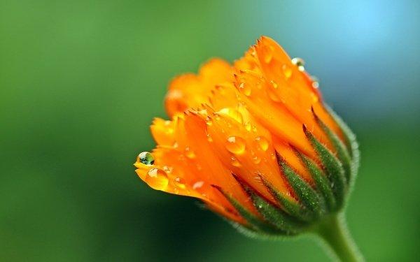 Terra/Natura Marigold Fiori Macro Yellow Flower Gocce d'acqua HD Wallpaper | Sfondo
