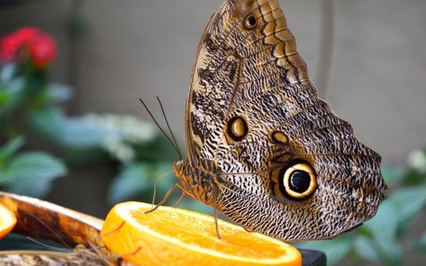 Animal Butterfly Insect Close-Up HD Wallpaper   Background Image