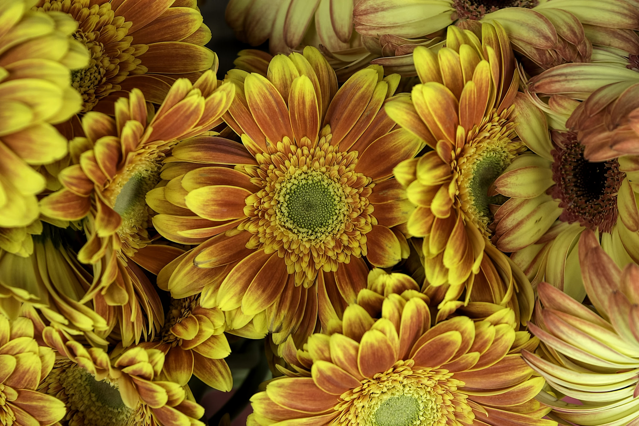 Gerbera Flower Meaning Flower Meaning 547002 Sciencemadesimplefo