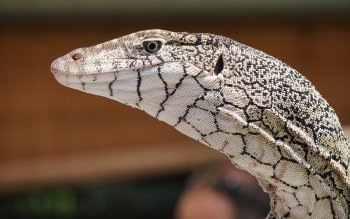 24 Monitor Lizard HD Wallpapers Backgrounds Wallpaper Abyss