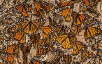 16 Monarch Butterfly Hd Wallpapers Background Images Wallpaper