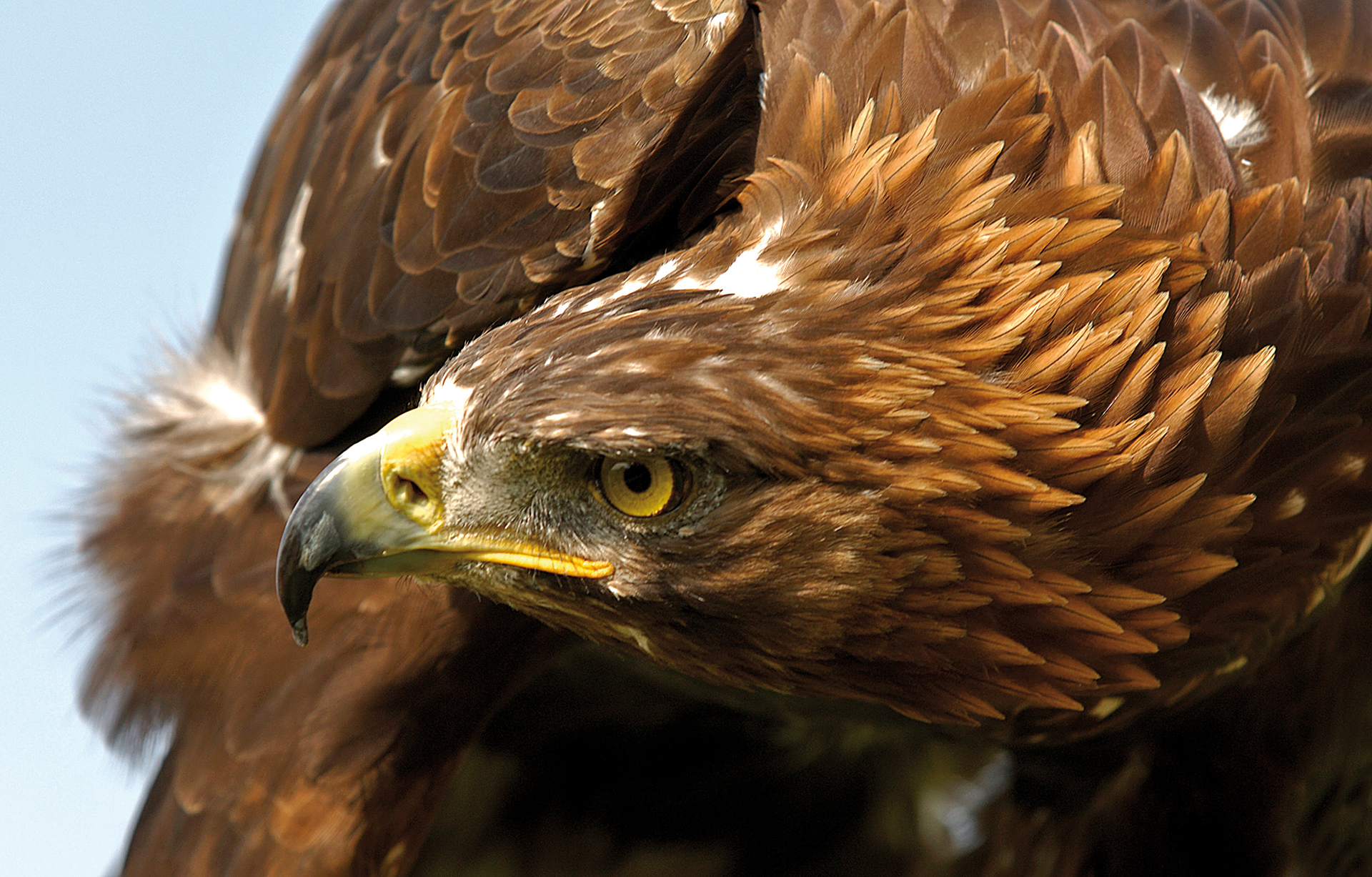 Golden eagle full hd wallpaper and background 1920x1227 for Gold bird wallpaper
