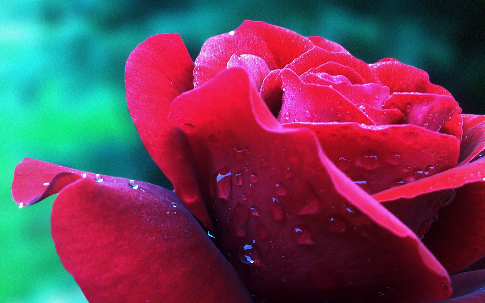 Earth - Rose Flower Red Rose Red Flower Water Drop Wallpaper