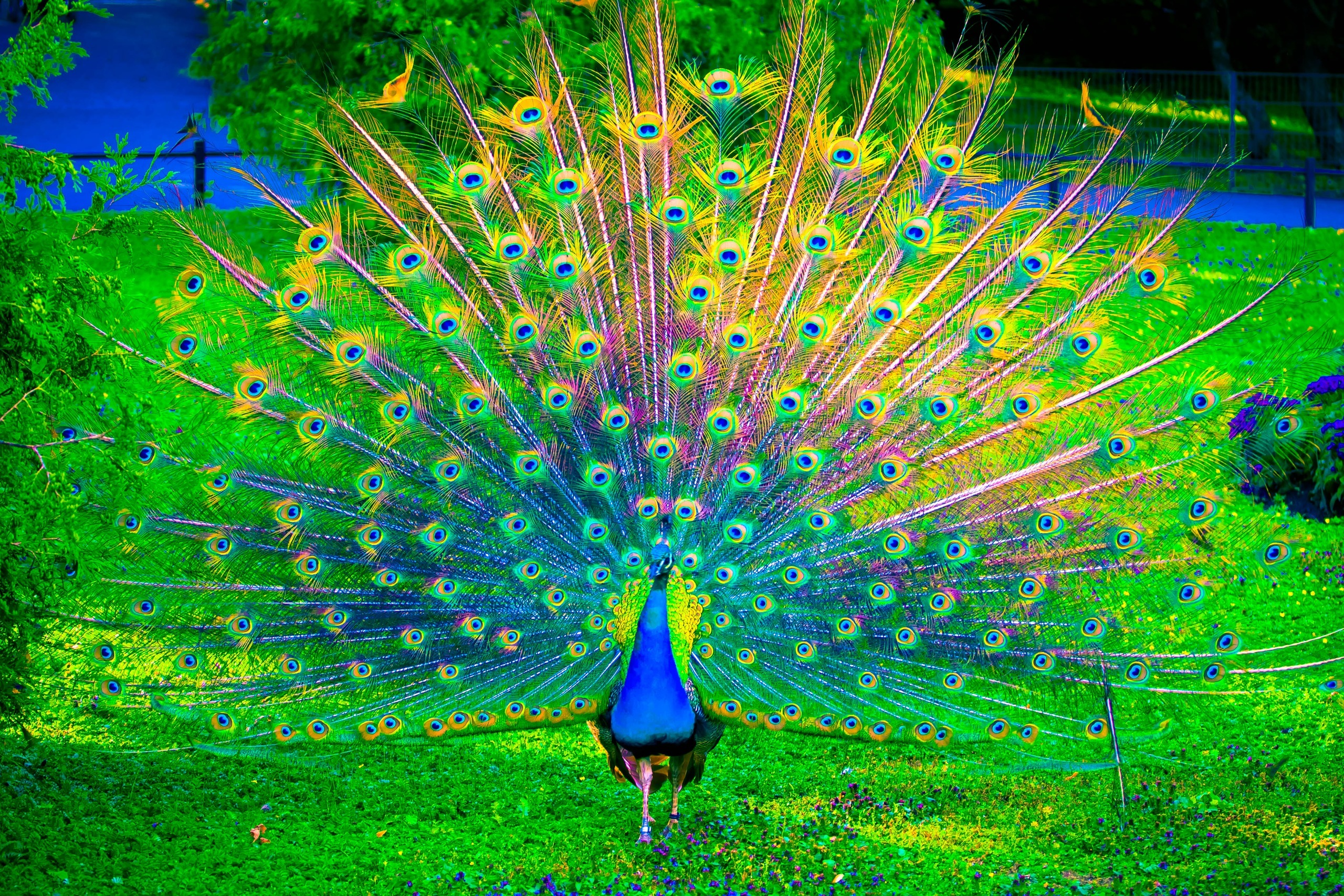 peacock hd wallpaper background image 2560x1707 id 746424