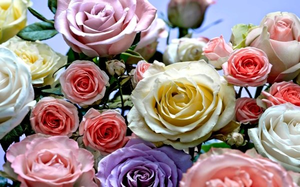 Earth Rose Flowers Flower Colors HD Wallpaper | Background Image