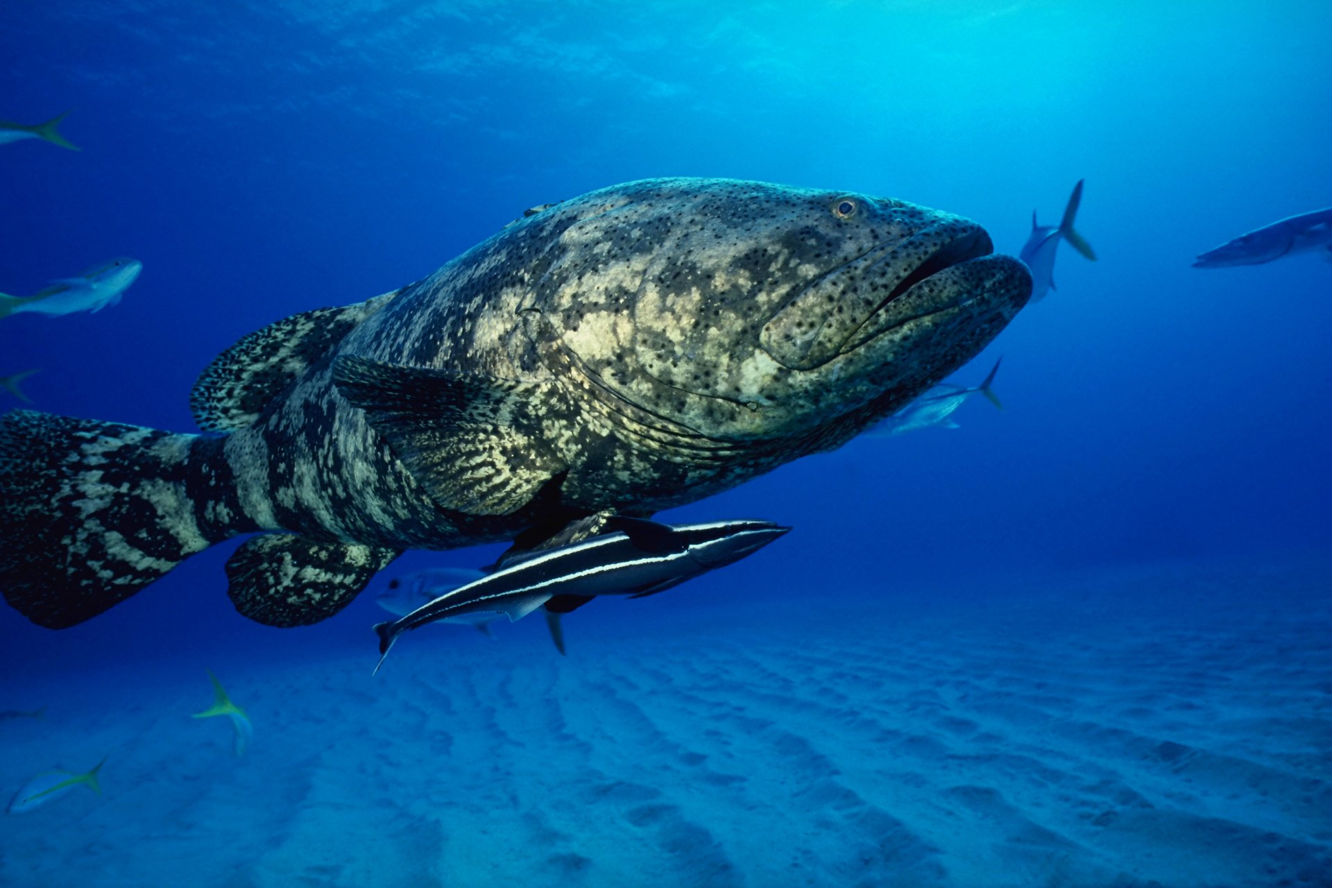 how to fish for grouper