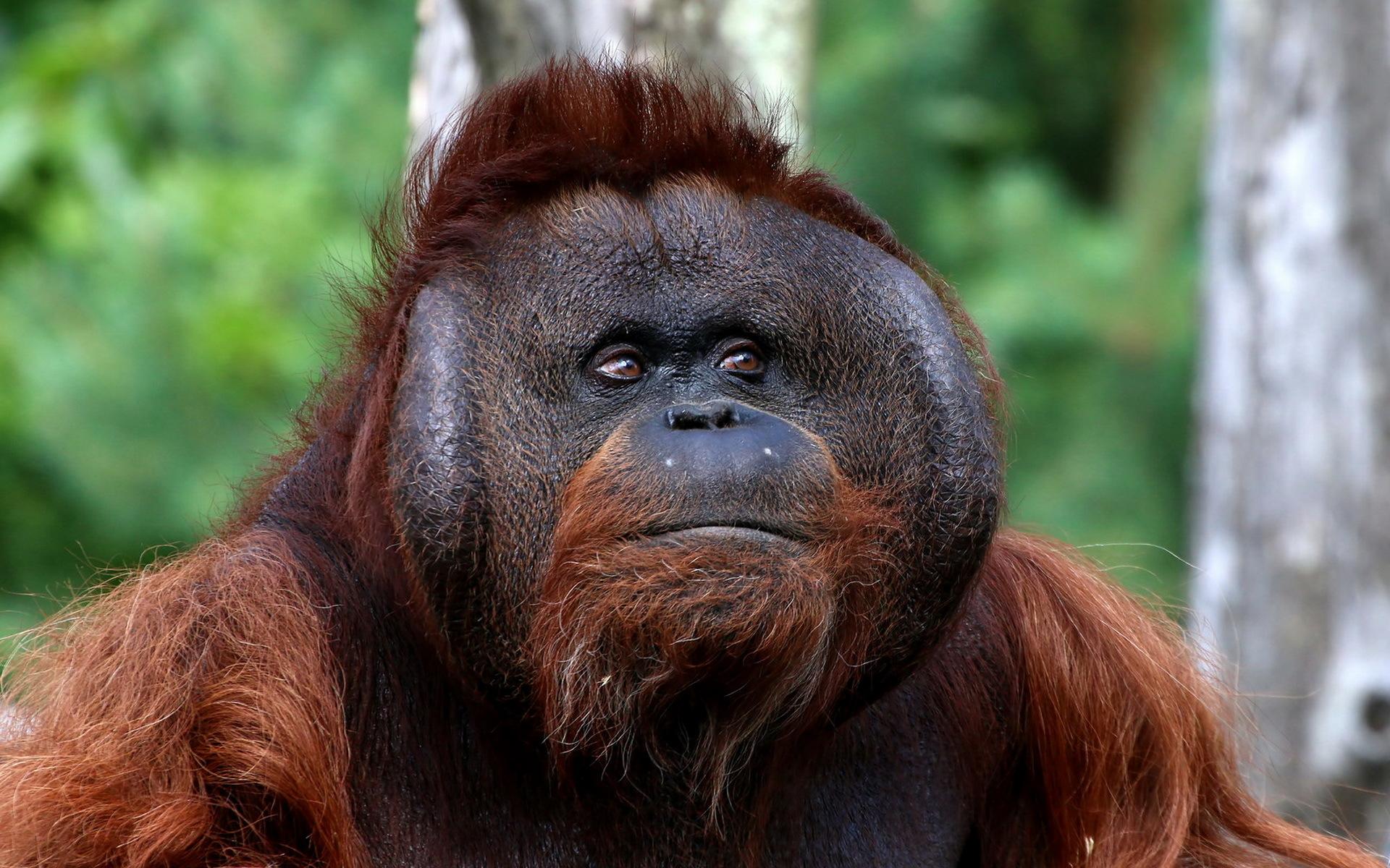 Orangutan Hd Wallpaper Background Image 1920x1200 Id766847