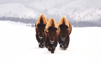 Animal - Buffalo Wallpapers and Backgrounds ID : 77086