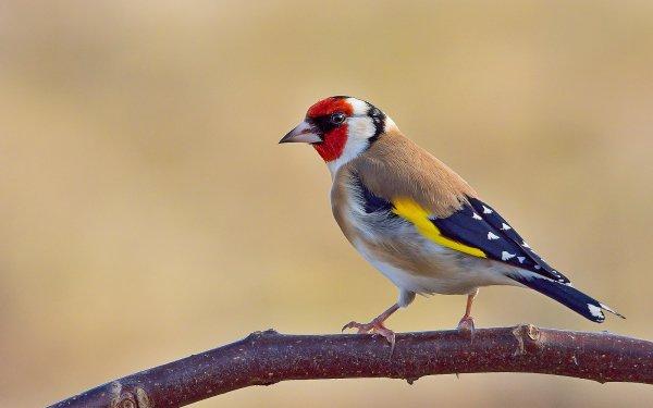 Animal Goldfinch Birds Passerines Bird European Goldfinch HD Wallpaper | Background Image