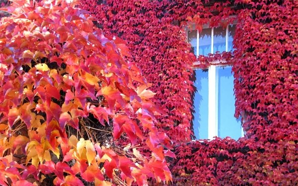 Photography Fall Earth Foliage Ivy Tree HD Wallpaper | Background Image