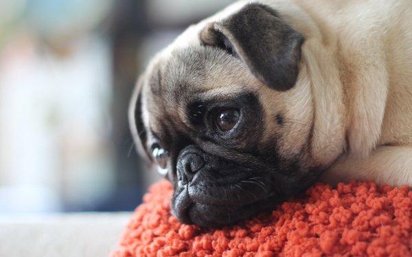 Animal Pug Dogs Dog Muzzle HD Wallpaper | Background Image