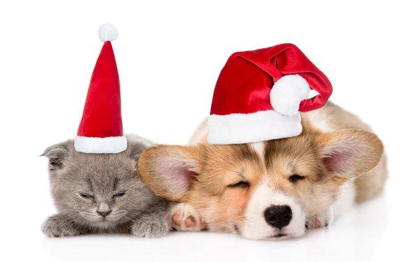 Animal Cat & Dog Cat Dog Corgi Sleeping Santa Hat HD Wallpaper   Background Image