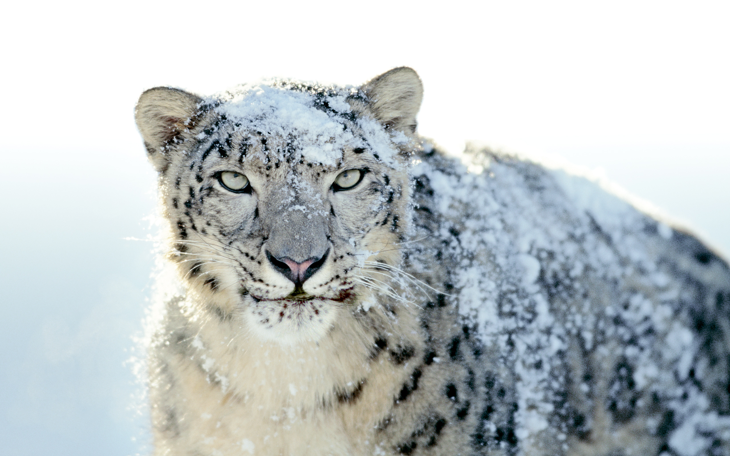 316 Snow Leopard HD Wallpapers