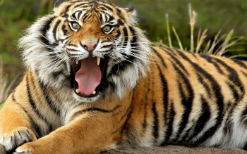 Animal - Tiger Wallpapers and Backgrounds ID : 78596