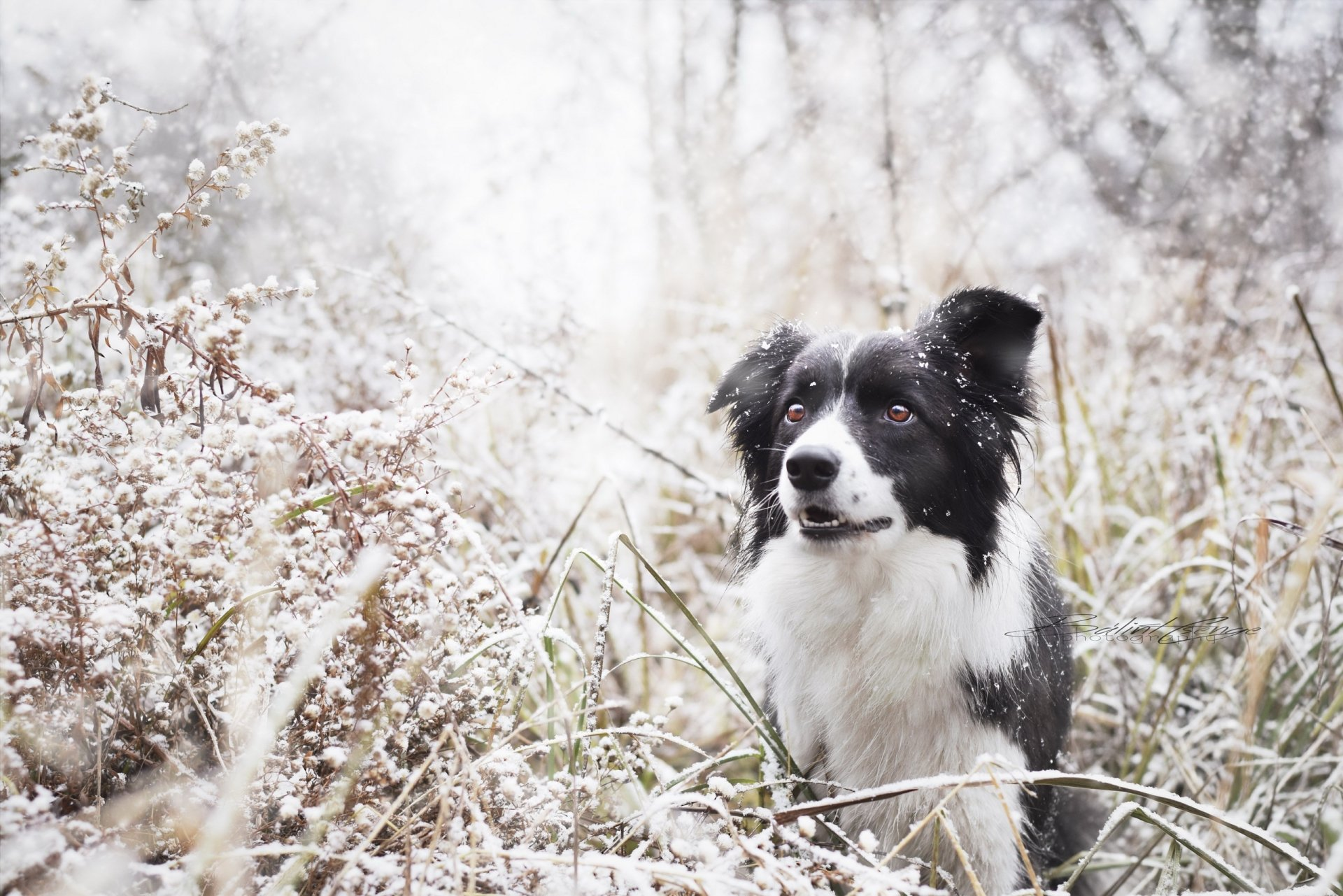 73 border collie hd - photo #9