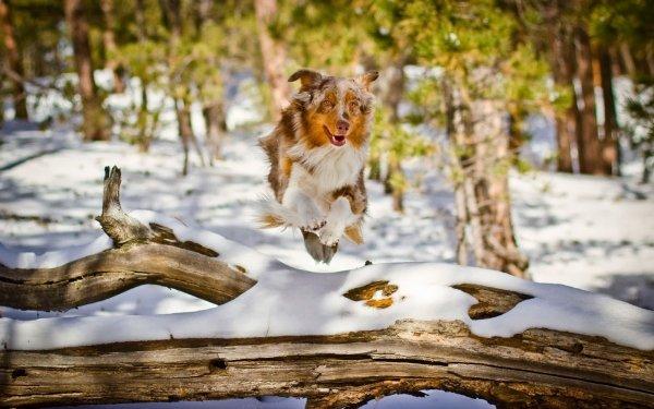 Animal Australian Shepherd Dogs Dog Winter Running Snow Depth Of Field HD Wallpaper | Background Image