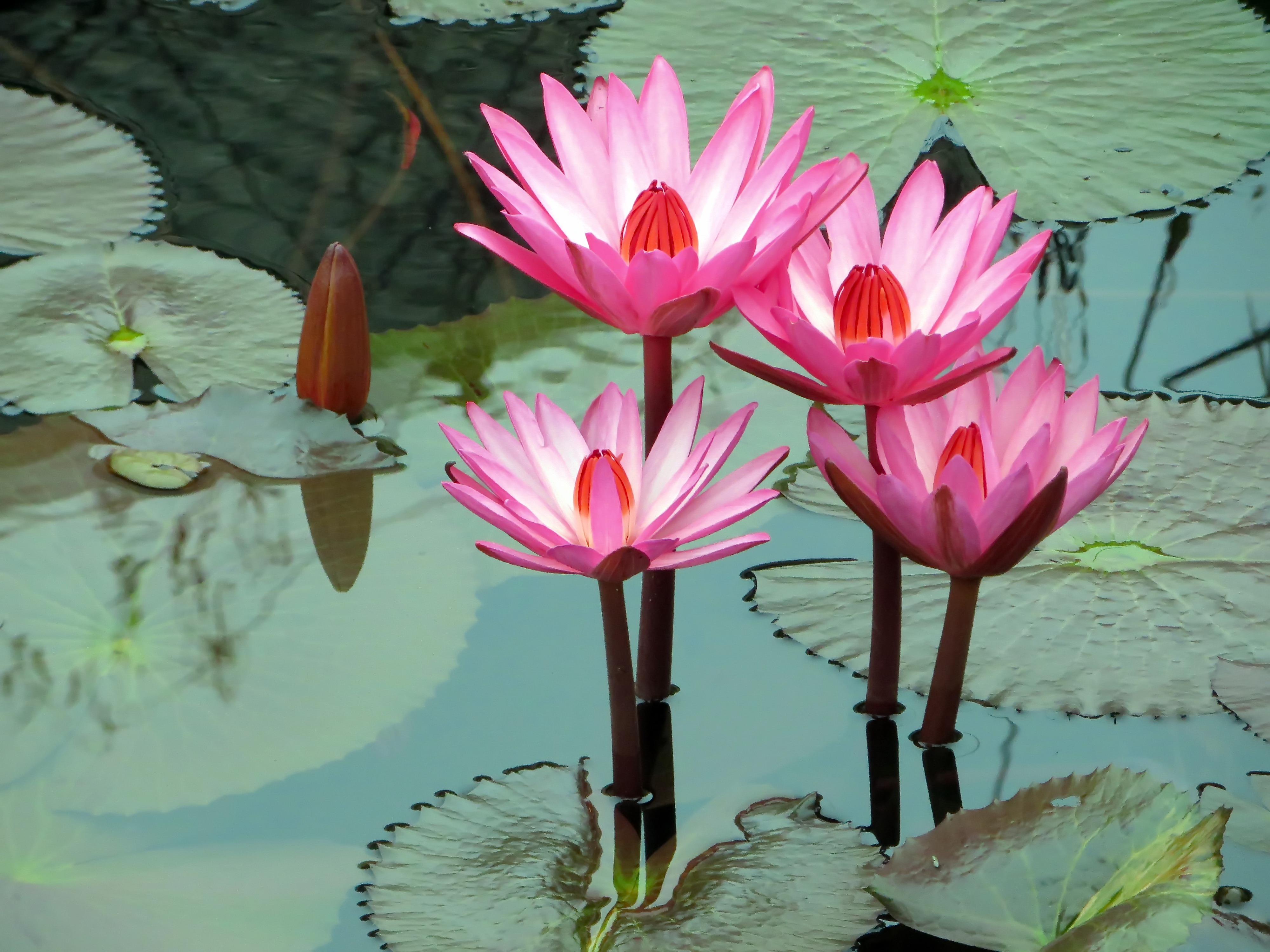 161 Water Lily Hd Wallpapers Background Images Wallpaper Abyss