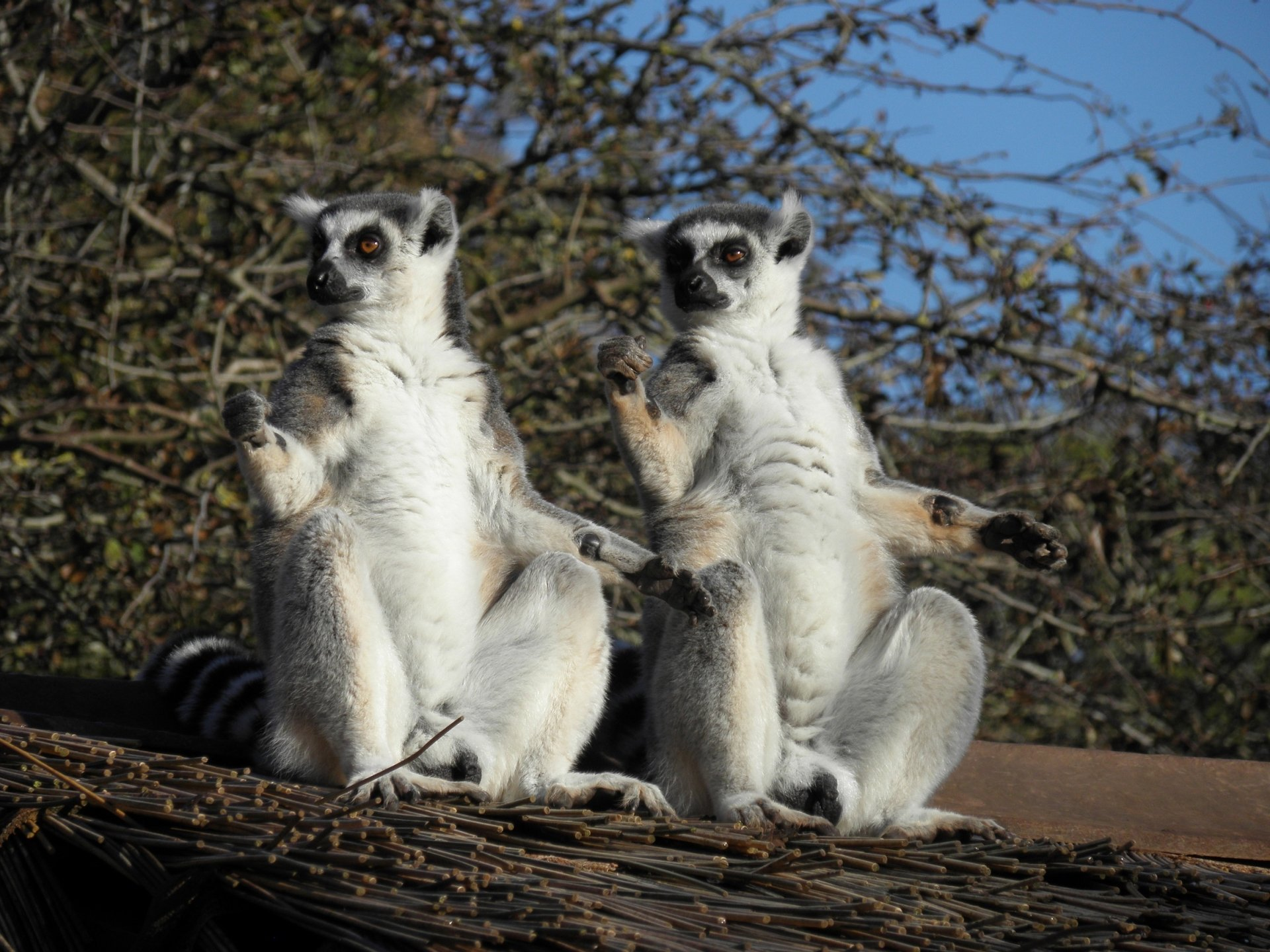 two ringtailed lemurs soaking up the sun hd wallpaper