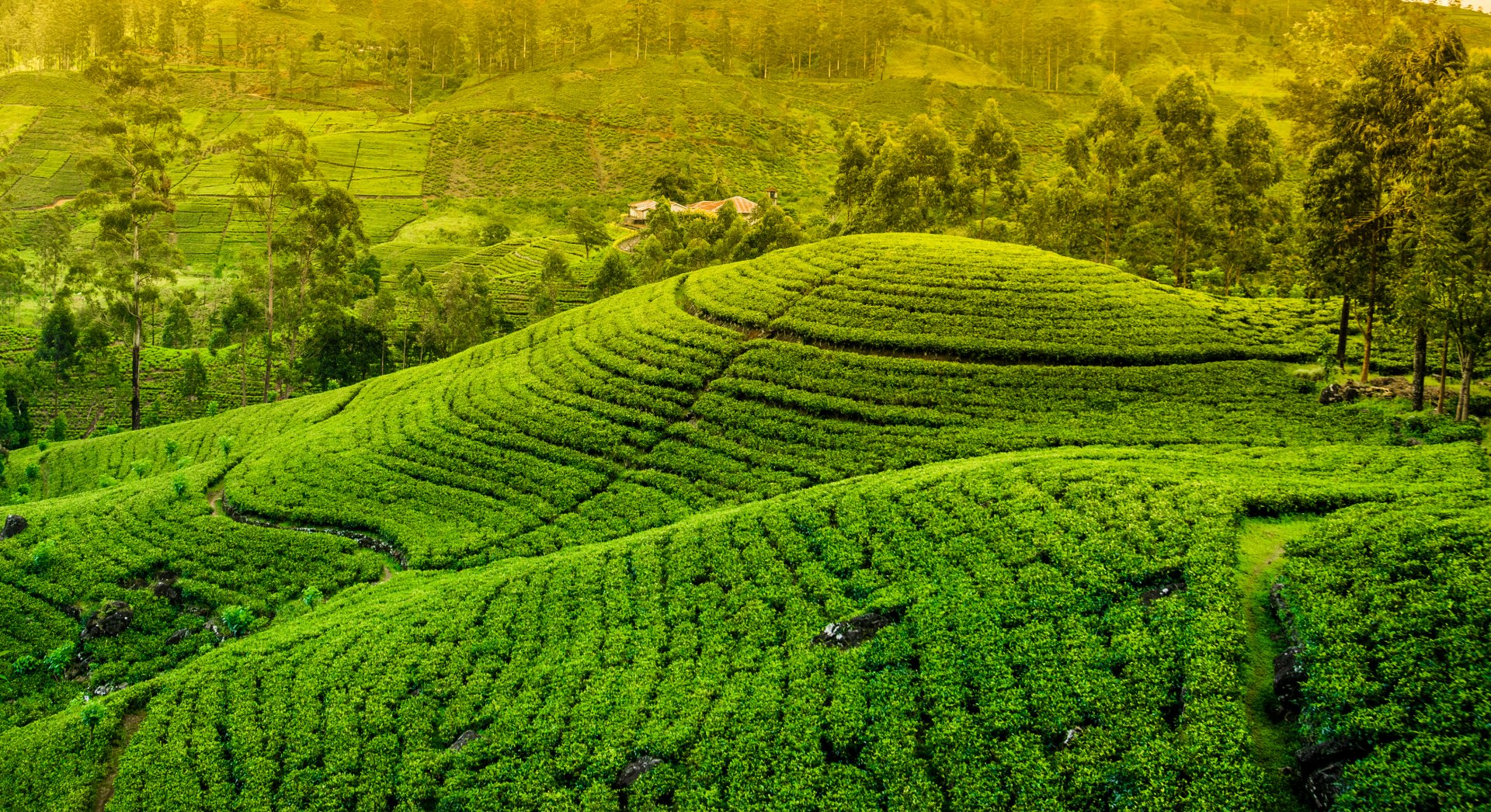 Man Made - Tea Plantation  Green Hill Landscape Wallpaper