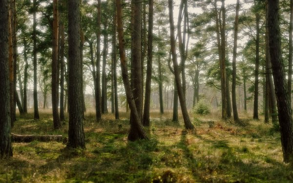 Earth Forest Tree Pine HD Wallpaper | Background Image