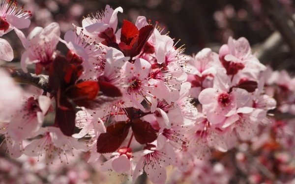 Earth Blossom Flowers Spring Macro Nature Branch Flower Pink Flower HD Wallpaper   Background Image