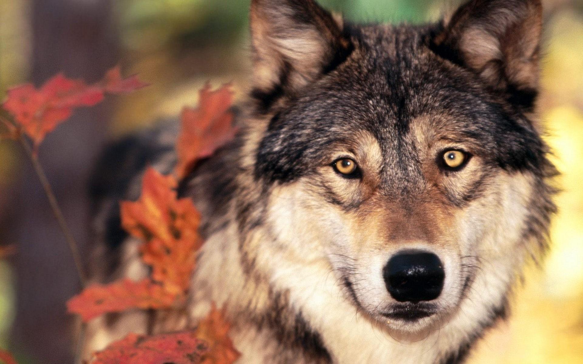 Dierenrijk - Wolf  - Wolves - Predator - Back Wall Achtergrond
