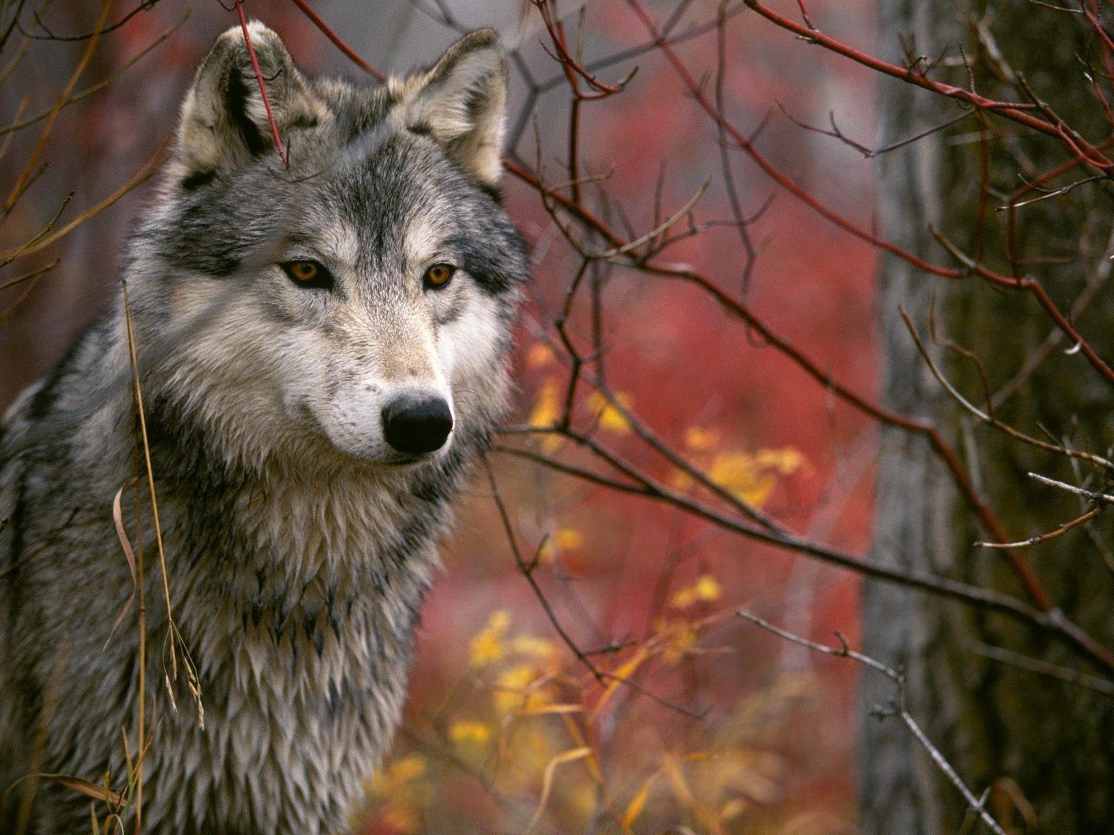 Animal - Wolf  Forest predator (Animal) Wallpaper