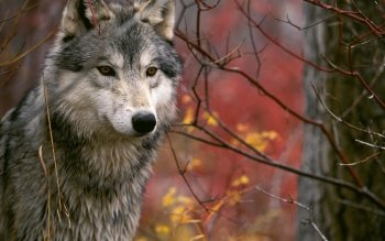 Animal - Wolf Wallpapers and Backgrounds ID : 81284