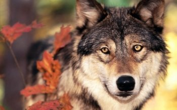 Animal - Wolf Wallpapers and Backgrounds ID : 81286