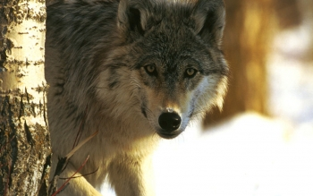 Animal - Wolf Wallpapers and Backgrounds ID : 81288