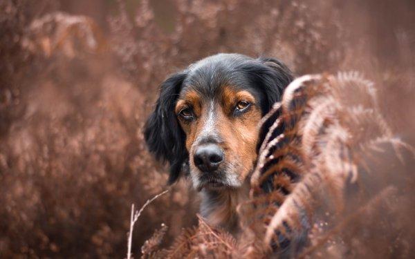 Animal Sennenhund Dogs Dog Fall Fern Stare HD Wallpaper | Background Image